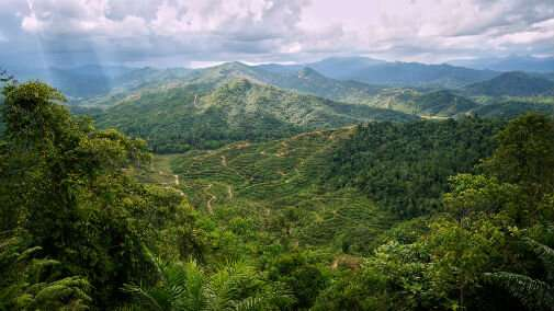 Connected forest networks on oil palm plantations key to protecting endangered species