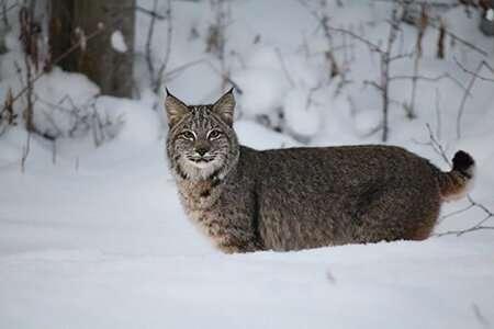 Copy cats: When is a bobcat not a bobcat?