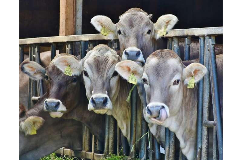 la vaca come