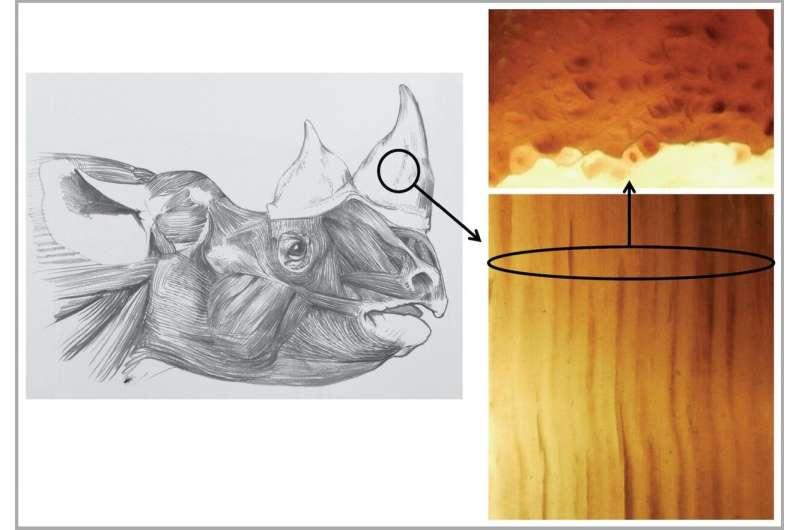 Creating fake rhino horn with horse hair to help in saving the endangered rhino