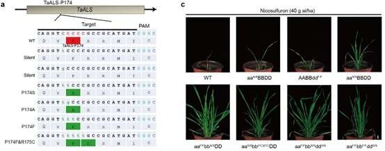 CRISPRed wheat helps farmers control weeds