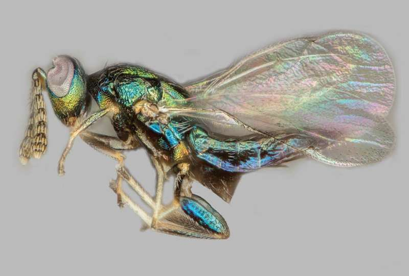 Crypt-keeper wasp found to parasitize multiple species of gall wasp