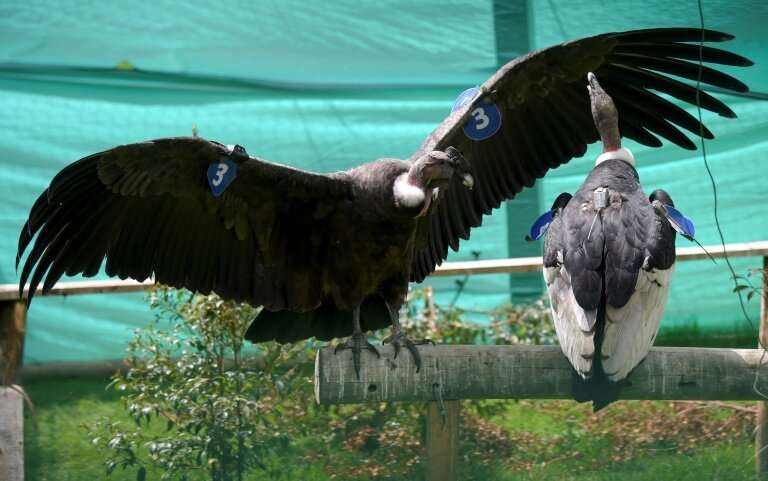 Dasan and Illika, the sick condors, were cared for for months before being released back into the wild, with new tags for tracki