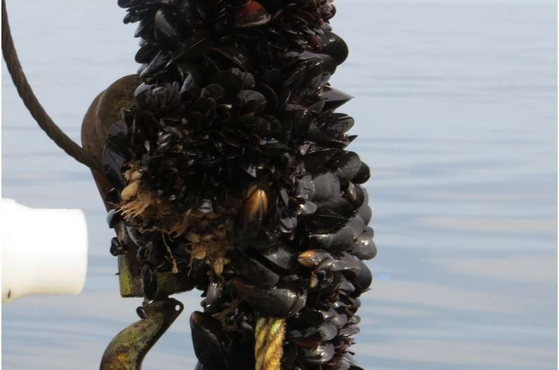 Deep water sites off the US northeast coast are suitable for offshore blue mussel farms