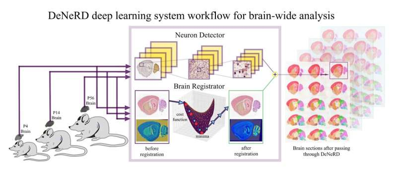 DeNeRD: an AI-based method to process whole images of the brain