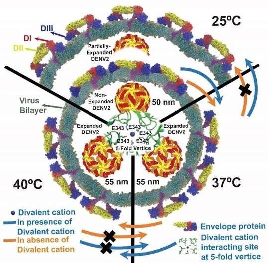 Dengue infection correlates to dynamics rather than morphologies