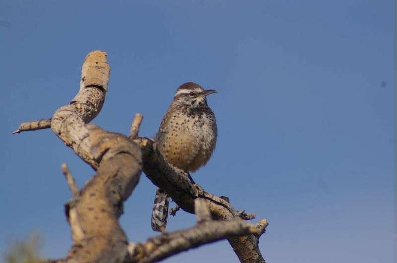 Desert plants provided by homeowners offer habitat for desert bird species