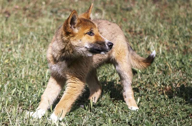 Dingo pup Wandi romps at the Australian Dingo Foundation headquarters near Melbourne