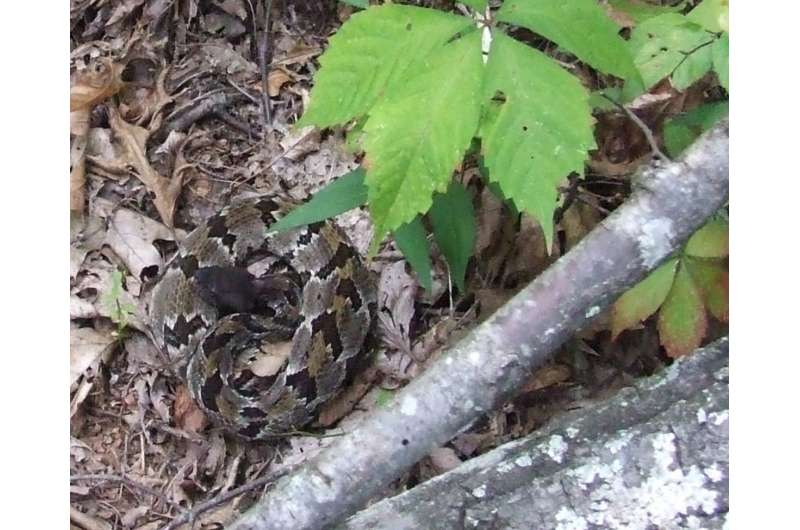 Does mountaintop removal also remove rattlesnakes?