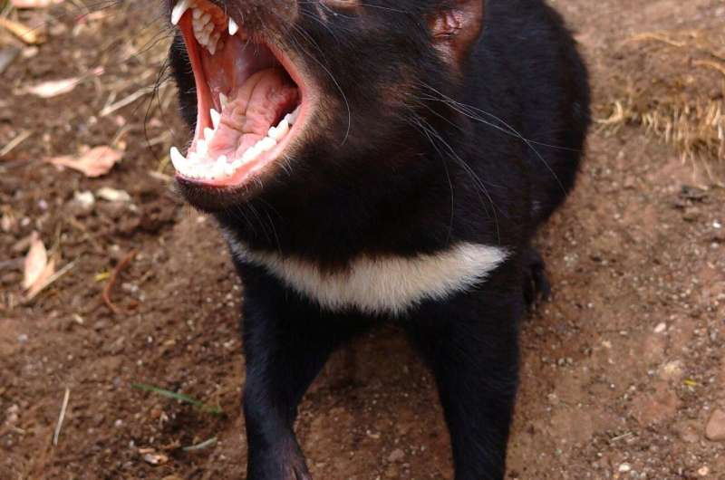 Do newly discovered mating habits of female Tasmanian devils help or hurt the species?