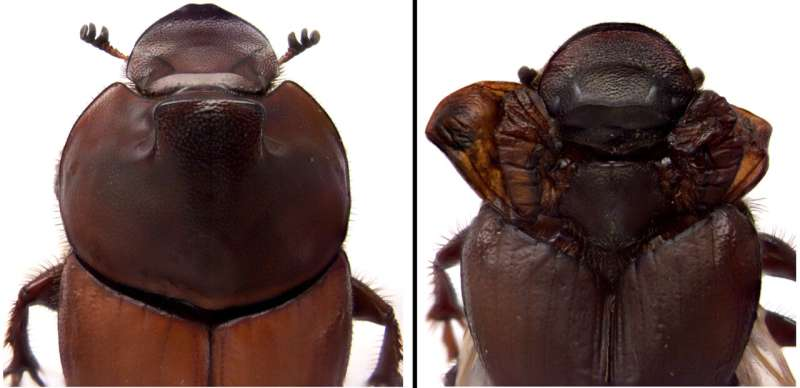 Dung beetle discovery revises biologists' understanding of how nature innovates
