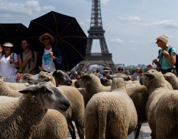 During their 11-day journey, the 25-strong flock were able to graze by historic monuments and, on arriving in Paris, gaze at sig