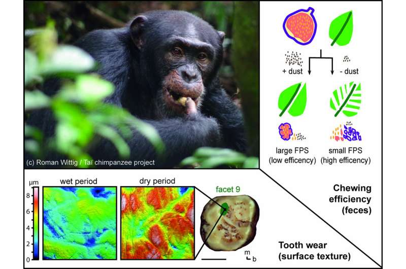 Dust affects tooth wear and chewing efficiency in chimpanzees