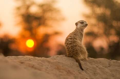 Early life stress alters helping behavior of meerkat offspring