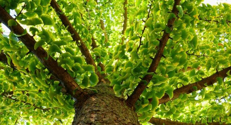 Efficient synthesis of ginkgo compound could lead to new drugs, 'green' insecticides
