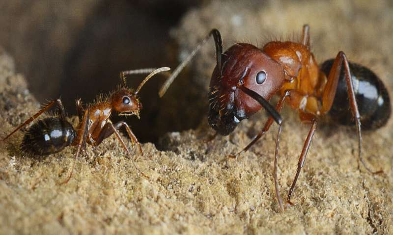 Epigenetic switch found that turns warrior ants into forager ants