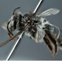 'Extinct' bee found on the outskirts of Perth