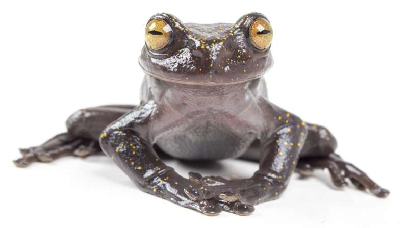 Extraordinary treefrog discovered in the Andes of Ecuador