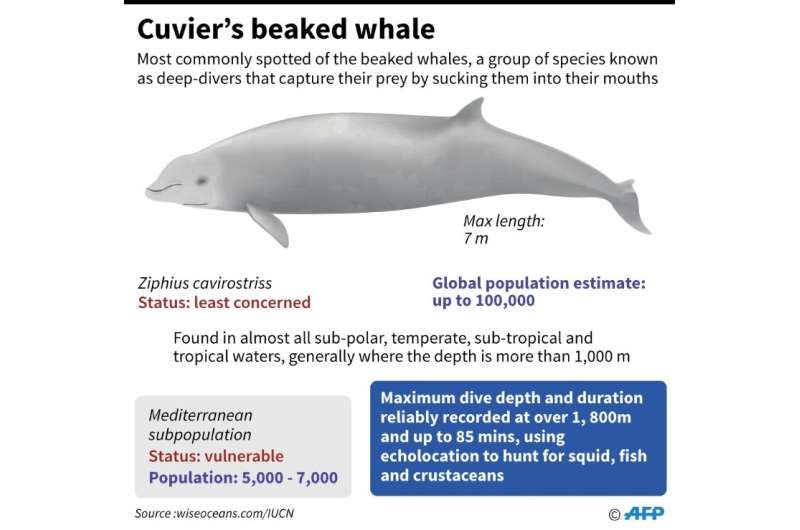 Factfile on Cuvier's beaked whale, repeatedly stranded in the Mediterranean because of man-made sonar, according to a new theory