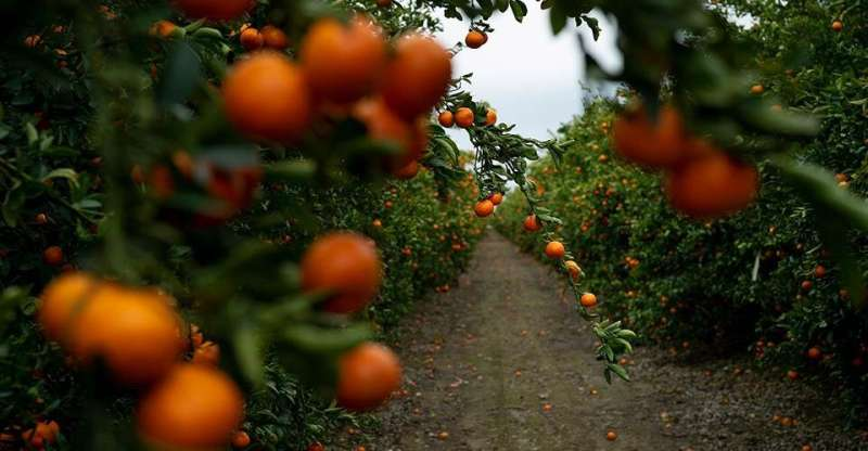 Farmers, researchers try to hold off deadly citrus greening long enough to findcure