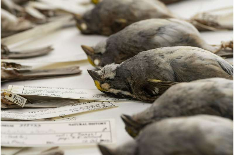 Fatal chirps: Nocturnal flight calls increase building collisions among migrating birds