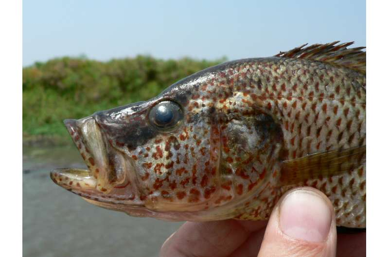 Female fish can breed a new species if they aren't choosy about who is Mr. Right