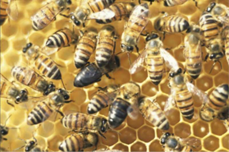 Finding an elusive mutation that turns altruism into selfish behavior among honeybees