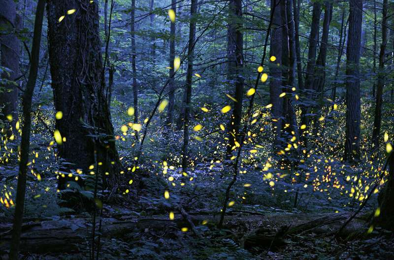 Fireflies, heart beats, and the science of sync