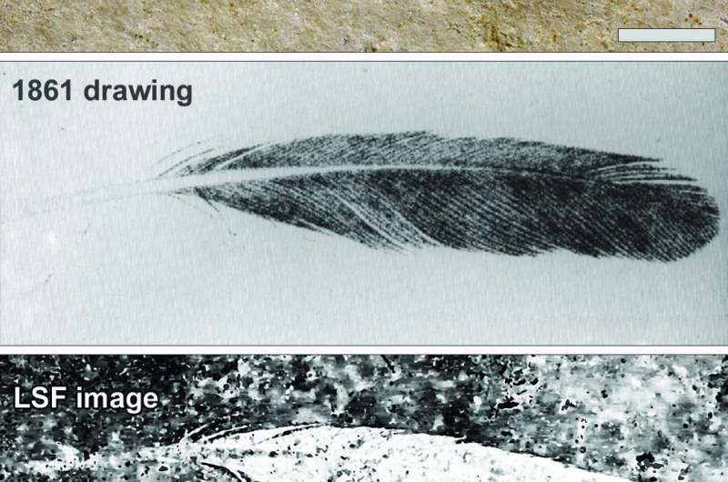 First discovered fossil feather did not belong to iconic bird Archaeopteryx
