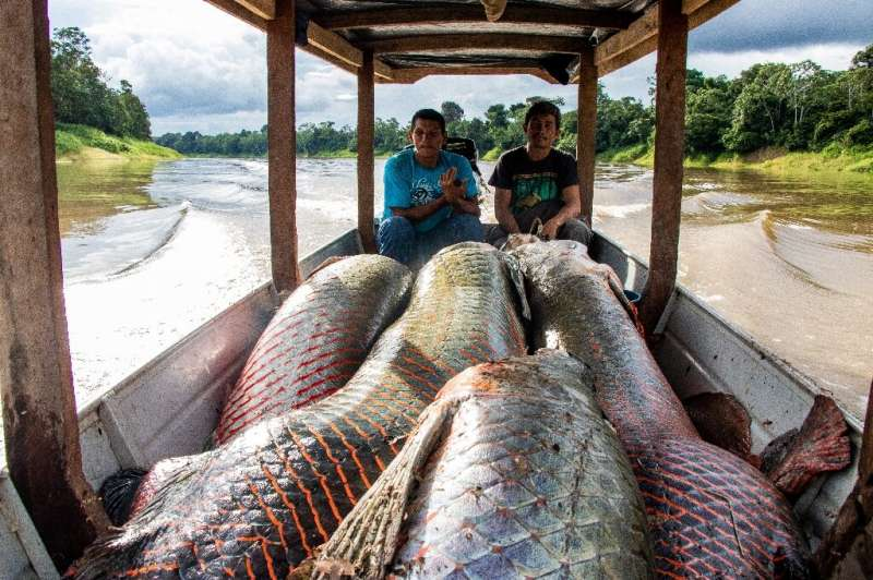 Fishermen with their haul pirarucu, a delicacy in Brazil—the species almost disappeared from the Amazon but with a program carri