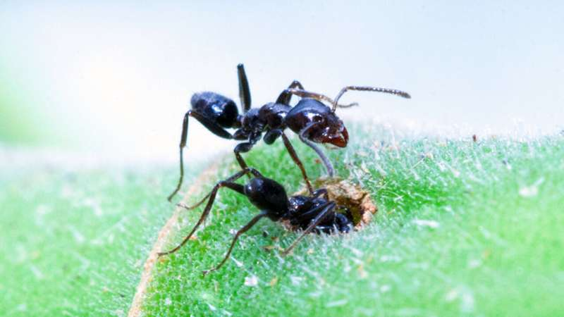 **For at least one species, ant nurseries are cleaner than human ones