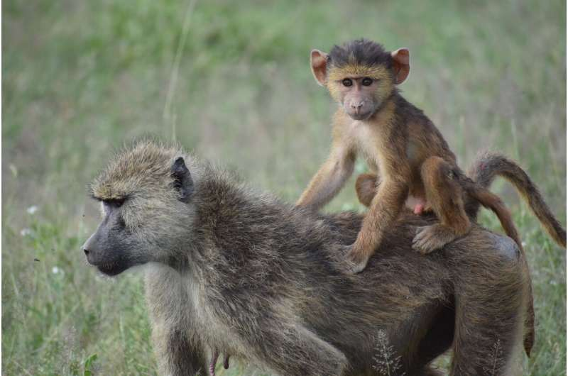 For baboons, a mother's history of hardship can have lasting effects on her kids too