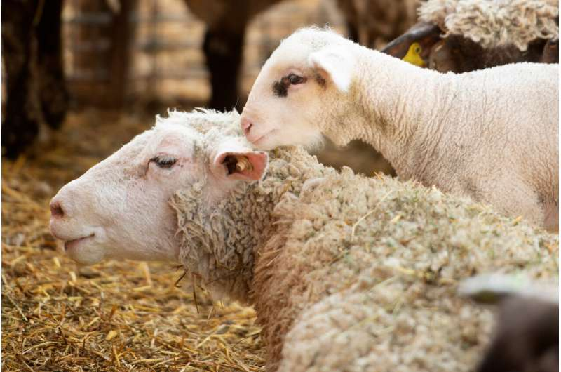 From sheep and cattle to giraffes, genome study reveals evolution of ruminants
