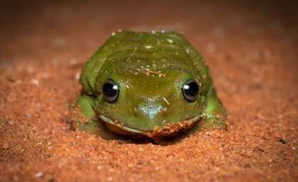Fungal infection affecting frogs' future