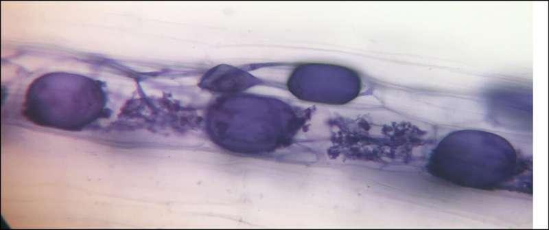 Los hongos podrían reducir la dependencia de los fertilizantes