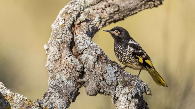 Genetic history of endangered Australian songbird could inspire an encore