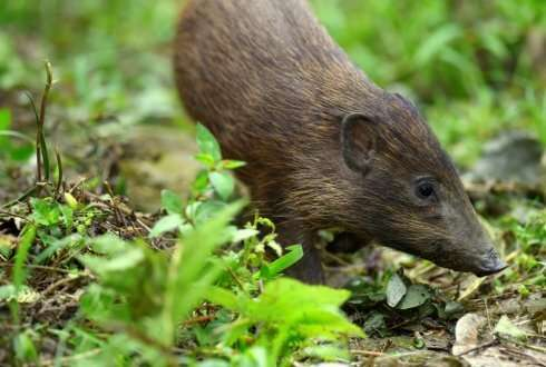 Genome of the endangered pygmy hog reveals interbreeding with several pig species