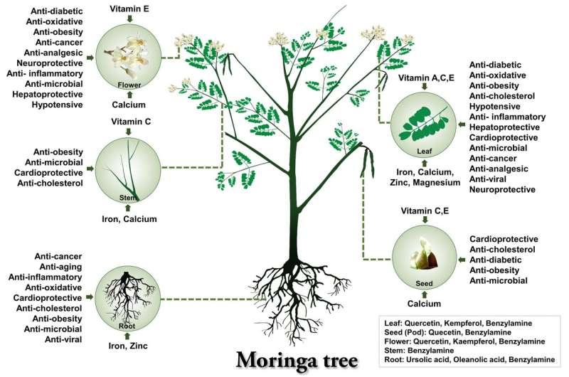 Genomics uncovers the mystery of the magic drumstick tree -- Moringa oleifera