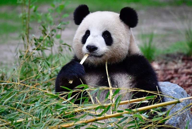 Giant panda Meng Meng, which means 'Little Dream', has been living at Berlin Zoo since 2017