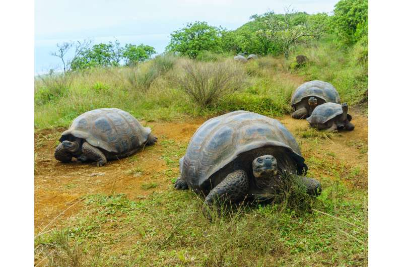 Giant tortoises migrate unpredictably in the face of climate change