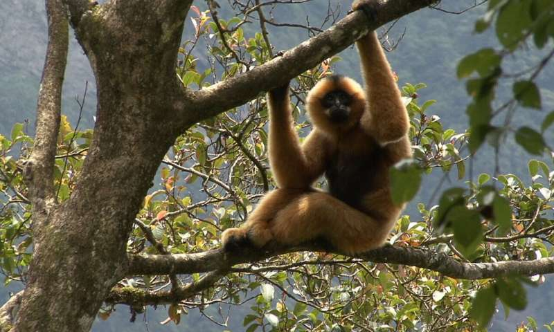 Gibbons hold on in last remaining Vietnam stronghold