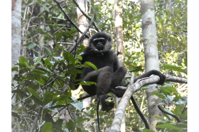 Gibbons' large, long-term territories put them under threat from habitat loss