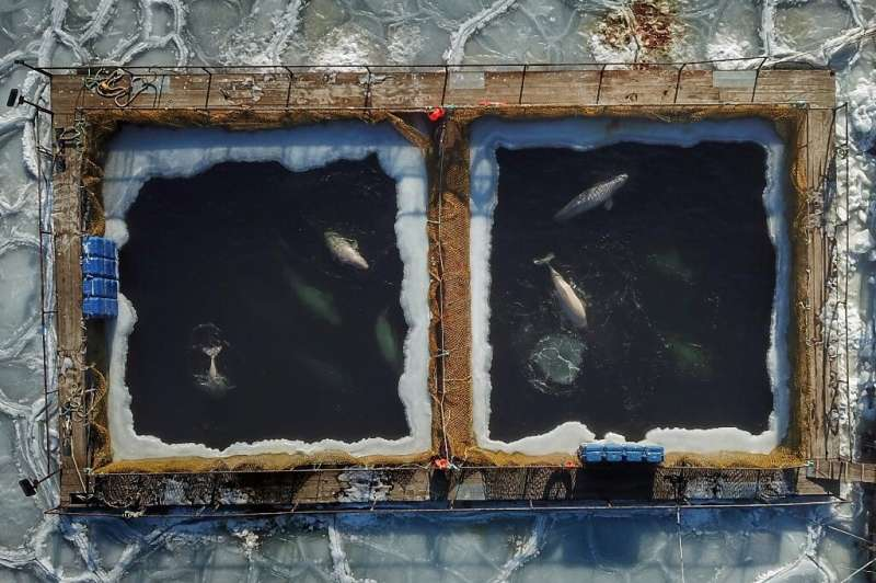 Global outcry followed when pictures were published of the whales struggling to swim through ice-encrusted waters in cramped enc