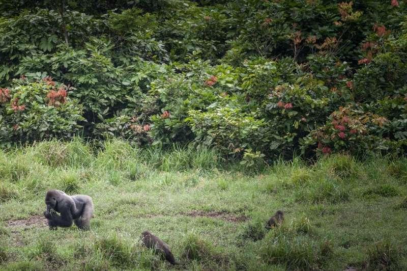 Gorillas in Gabon's Ivondo national park