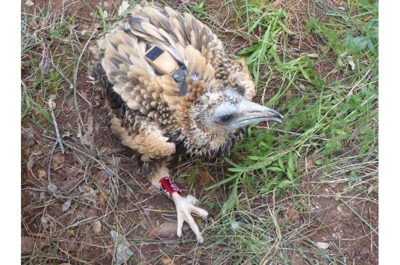 GPS-GSM technology for the long journey of the Egyptian vulture, an endangered species