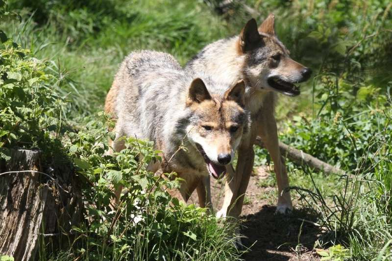 Gray wolves in the semi-wild animal park at Les Angles, in the Pyrenees mountains of southern France.