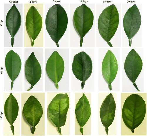 Greening devastates the citrus industry -- new research offers a solution