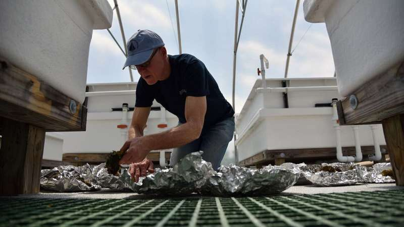 Growing a better seaweed to fuel the future