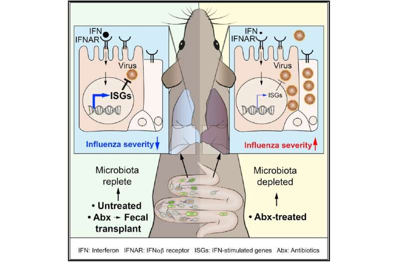 Gut microbes protect against flu virus infection in mice