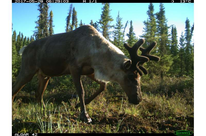 Habitat restoration alone not enough to support threatened caribou: UBC study